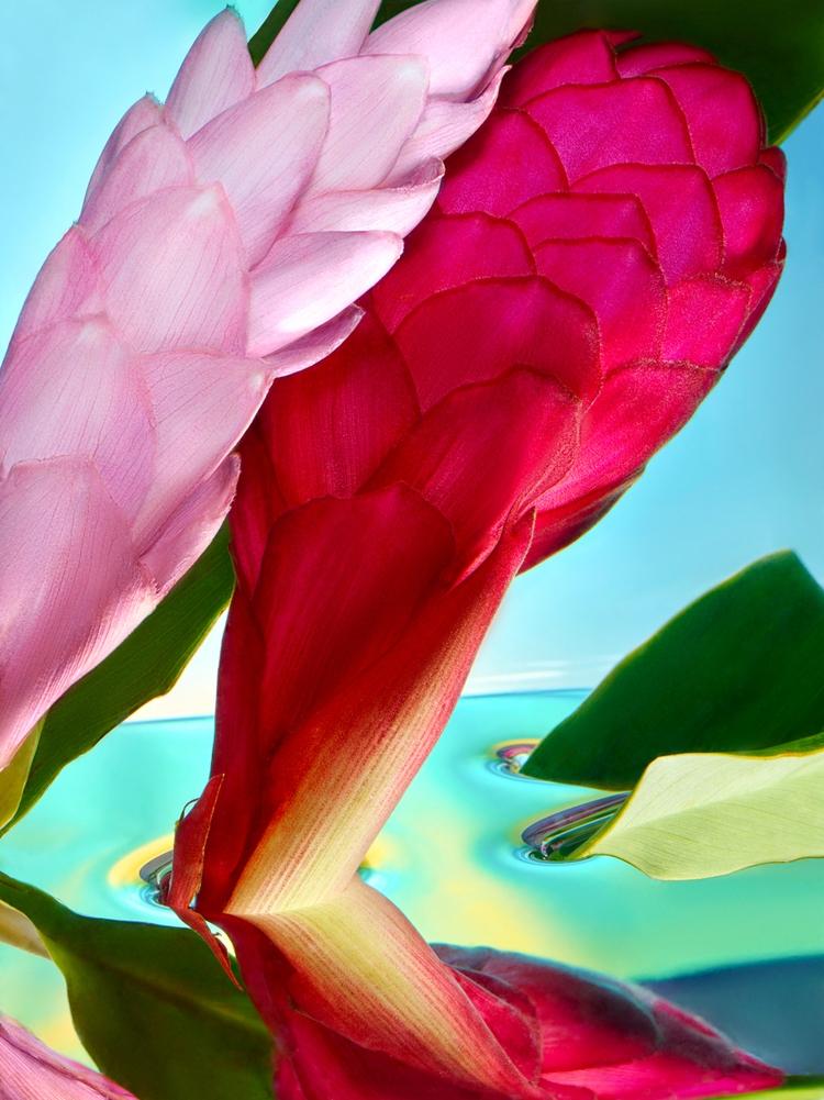 Tropics - Zingiberaceae, Ginger - palast   ello