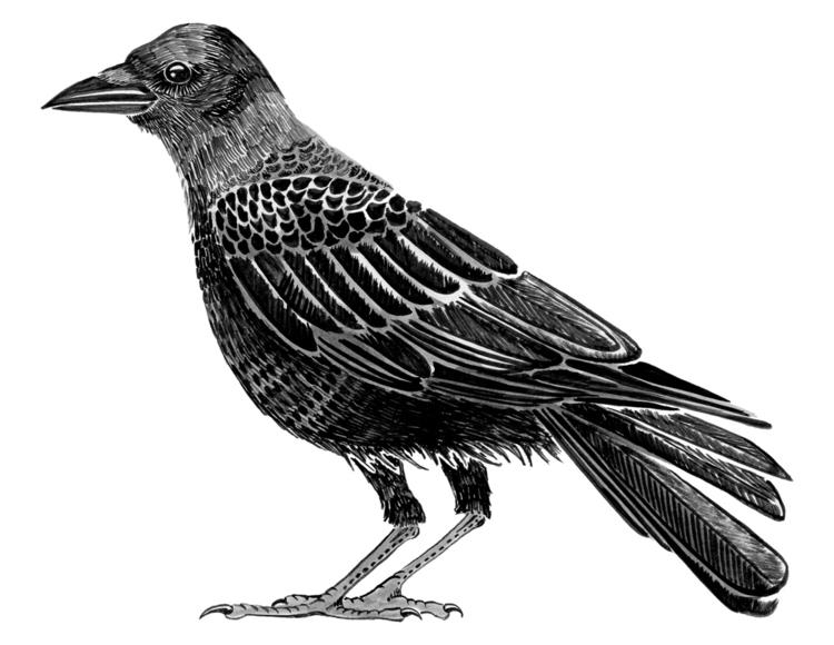 Crow. Brushed Ink. 2016 - illustration - evmaeve | ello