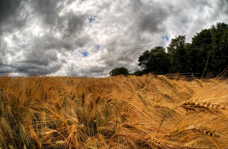 Wheat Winchester - ripe field H - neilhoward | ello