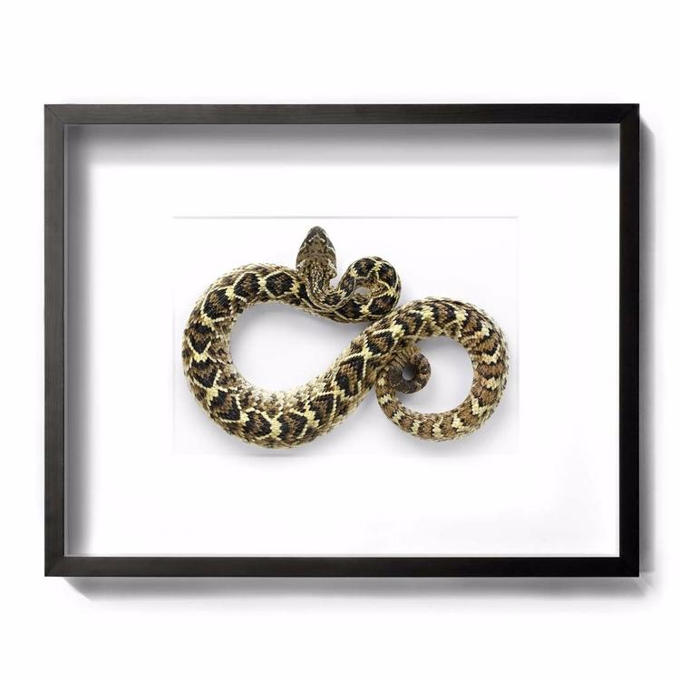30x22 Diamondback Rattlesnake - christophermarley | ello