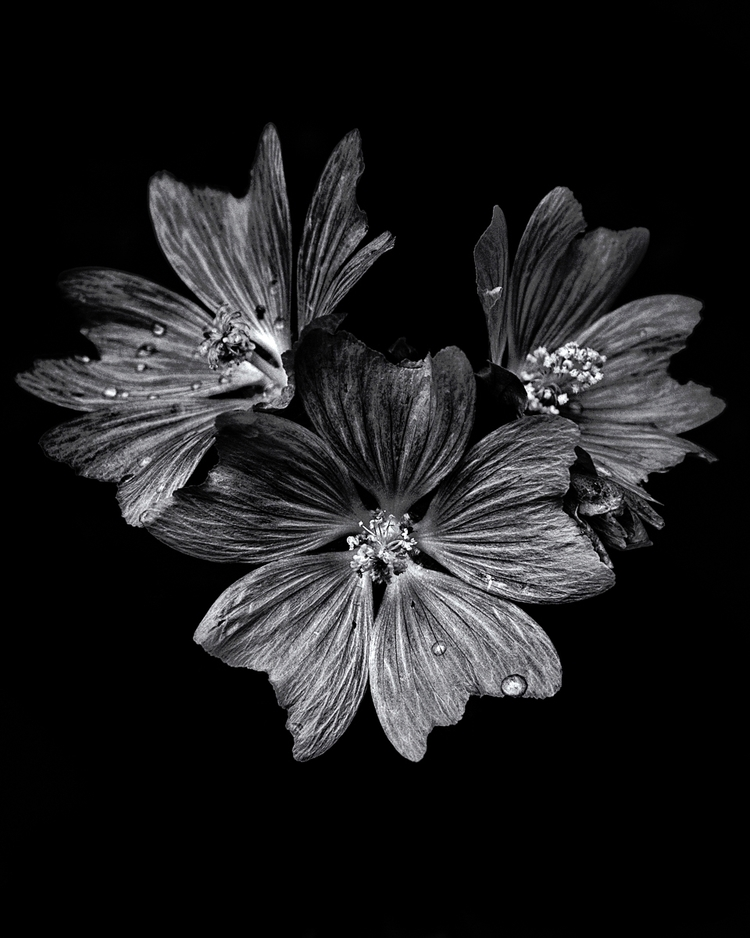 Backyard Flowers Black White 11 - thelearningcurvephotography | ello