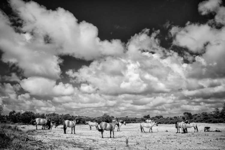 Wild Horses/ Project Dunes - kennemerduinen - arnevanoosterom | ello