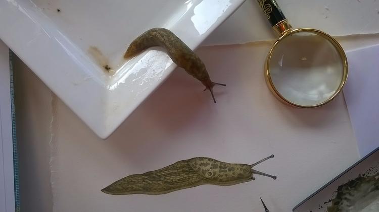 cool Green Cellar slug maculatu - lizzieharperillustrator | ello
