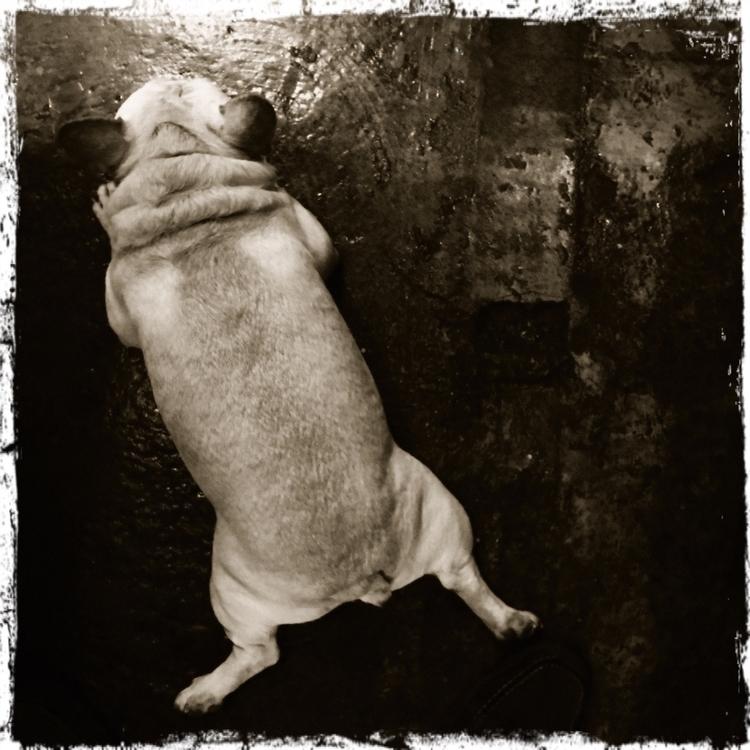 frenchbulldog - mathmac | ello