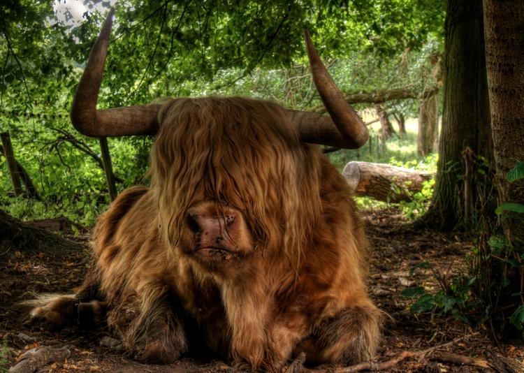 Highland Coo - cows Avington Pa - neilhoward | ello