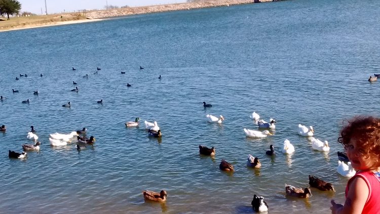 ducks, swimming, lake - alexandria3   ello