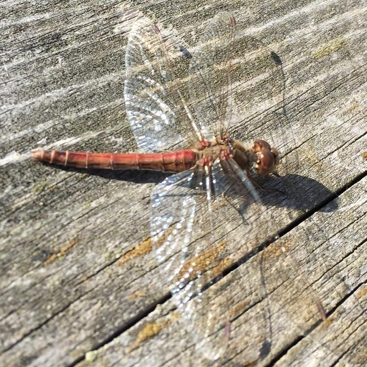 Dragonfly - hexica | ello
