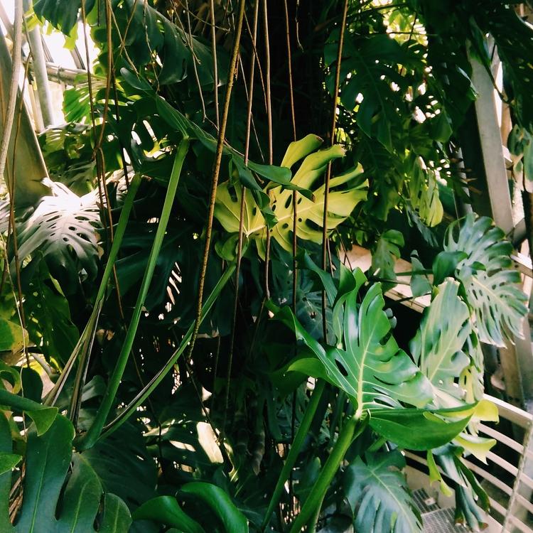 MONSTERA, EXOTICPLANTS, PLANTS - sselepohmi | ello