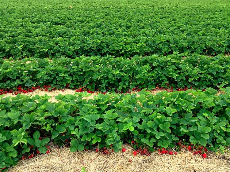 Strawberry Horizon - photo, nature - dispel | ello
