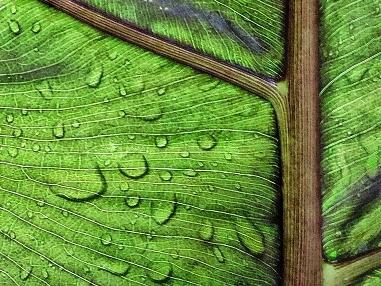 Wet Leaf - natue, dropsofwater, leafs - mario_blanco | ello