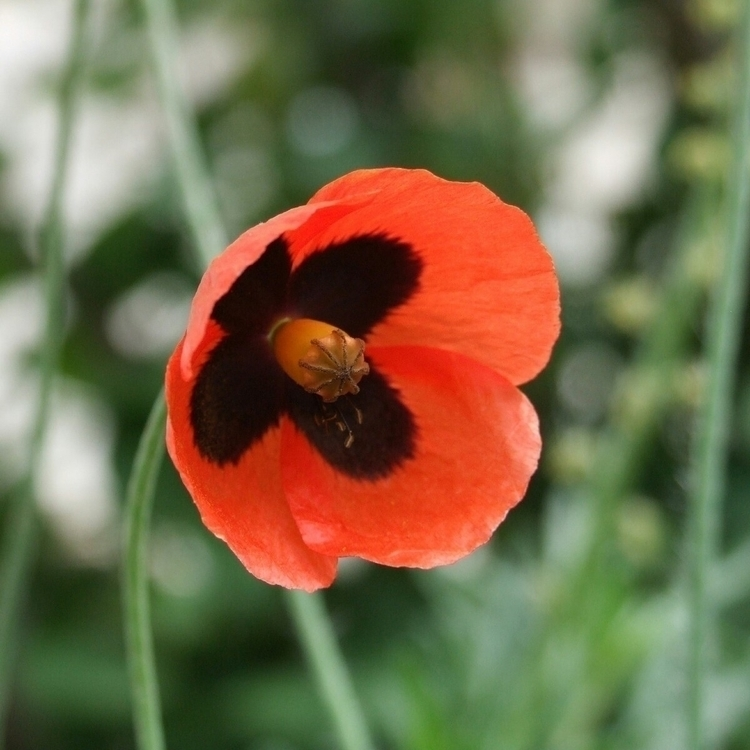 crimea, poppy, grass, flower - kormin | ello