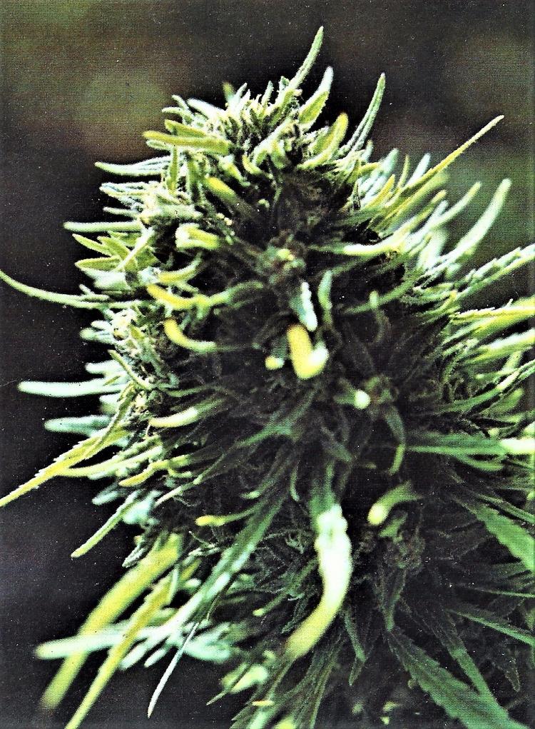 cannabis, ellocannabis, flower - ellocannabis | ello
