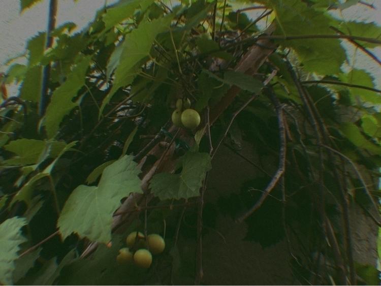Grapes Vine Apps - mikefl99, ello - mikefl99   ello
