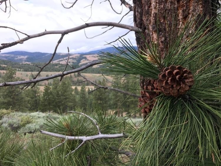 photography, pinecone, cascades - peterhartgregory | ello