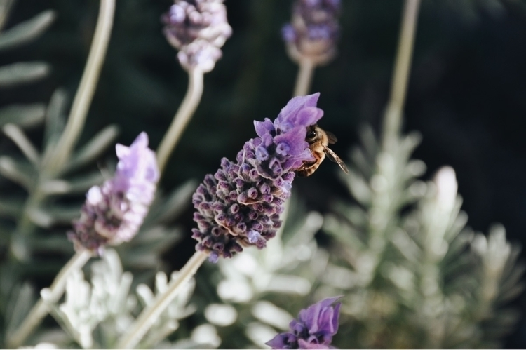 Caught bee hanging lavender clo - james_williams | ello