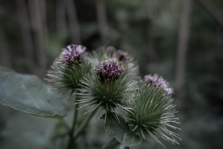 burdock, plants, herbal, foraging - blackwyrt | ello