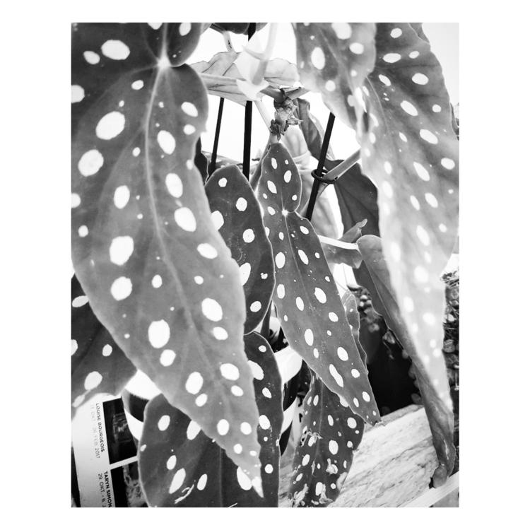 Begonia maculata 'Wightii - plant - a_t_e_l_i_e_r_154 | ello