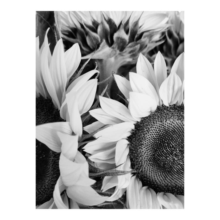 Helianthus annuus - plant, leaves - a_t_e_l_i_e_r_154 | ello