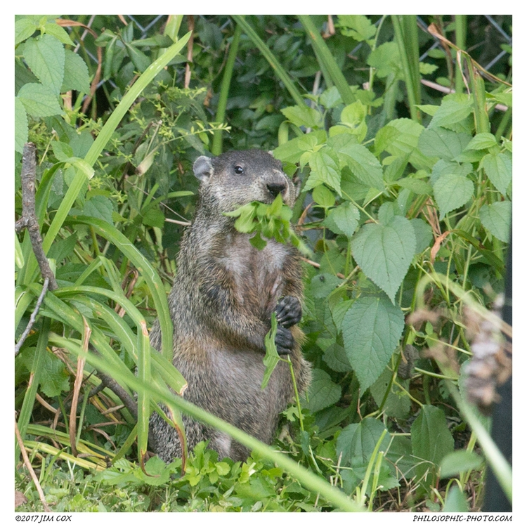 Groundhog Eats Mulberry Leaves - jascox   ello
