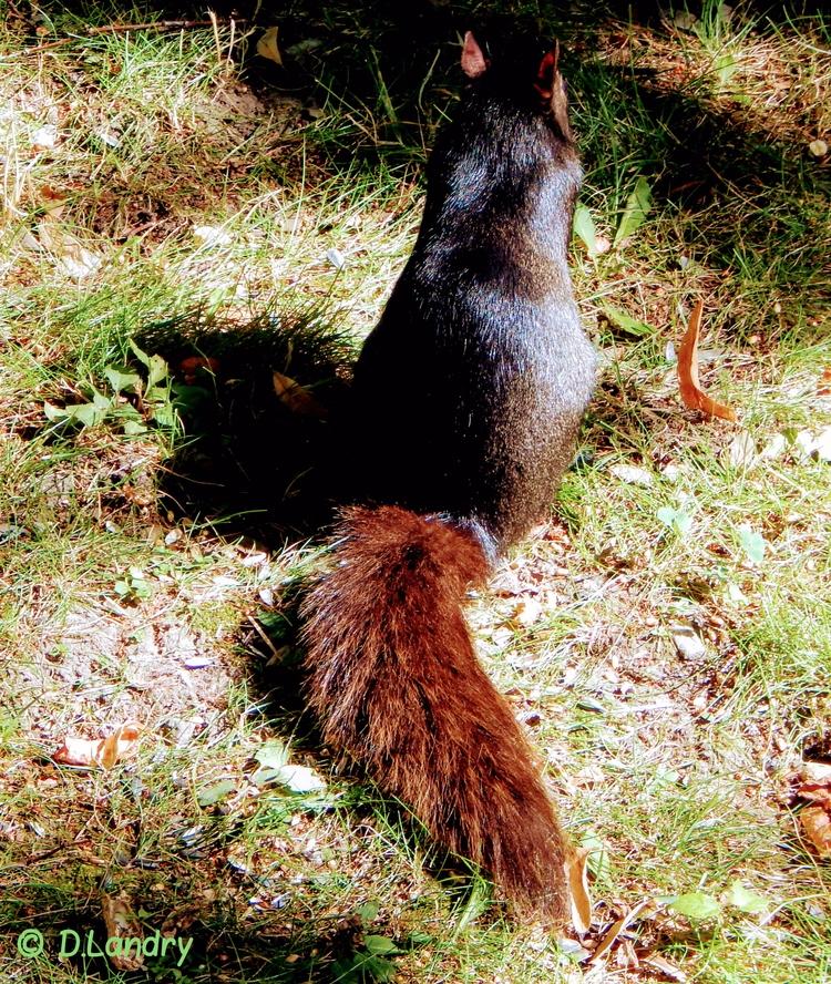 Écureuil noir Black squirrel - denysel | ello