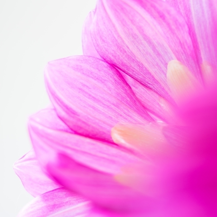 Dahlia flower - nature, natureart - peter_skoglund | ello
