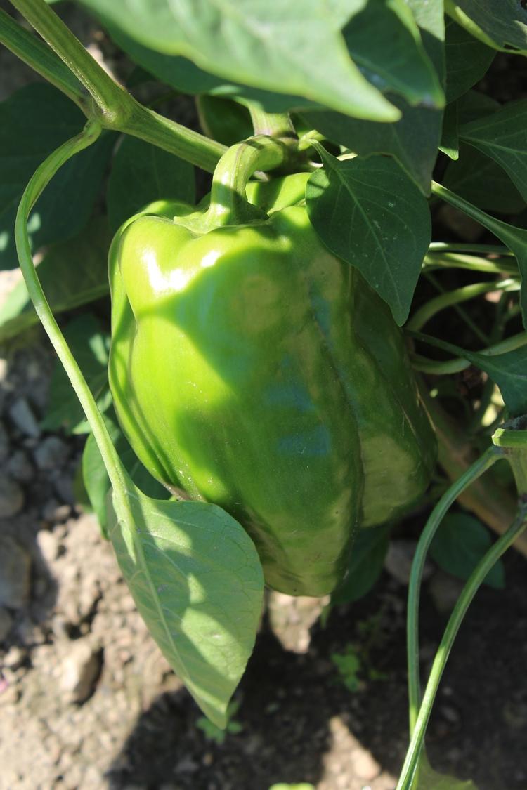 picked peppers season beans hop - ejfern28   ello