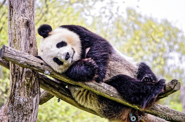Yuan Zi Panda ZooParc de Beauva - rkebbi | ello
