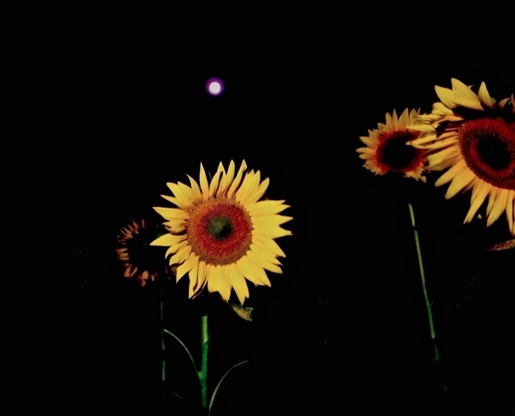 field 1 million thriving sunflo - petersabbagh | ello