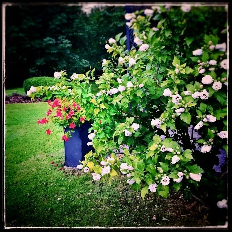 hibiscus, flowersinthepark, voluptuous - willkreutz | ello