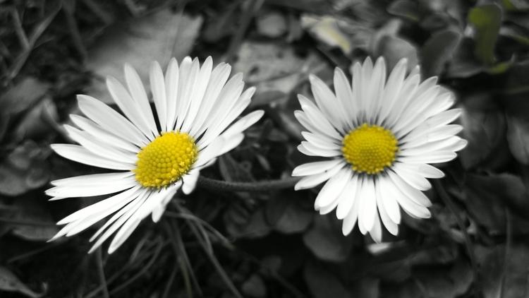 Gänseblümchen - Blumen, nature, wild - marcstipsits | ello