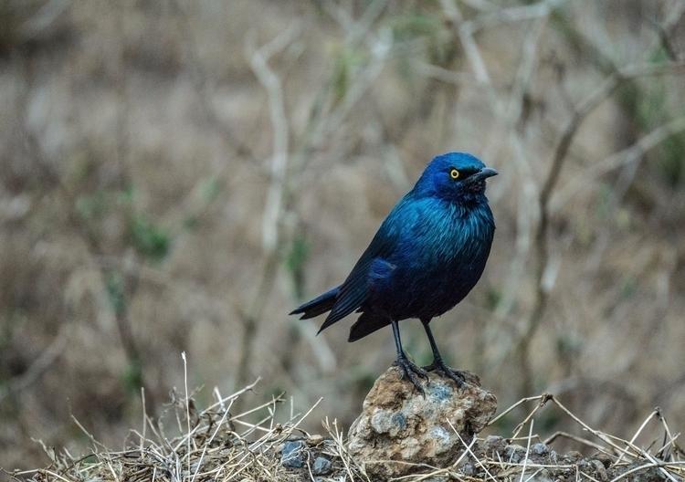 Gruff. Blue Eared Starling (Lam - gabibi | ello