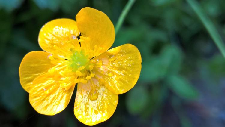 Gelbe Wiesenblume gemacht mit L - marcstipsits | ello