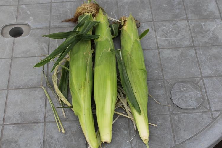 picked ears corn morning. sampl - ejfern28   ello