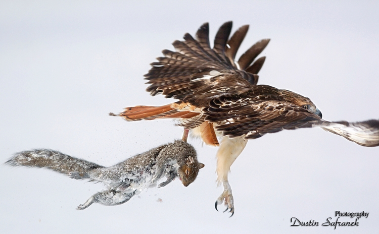 Red-Tailed hawk catching grey s - dustinsafranek | ello