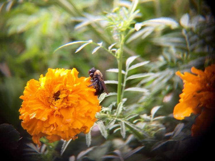 Bee giant marigolds backyard ga - adverteria | ello