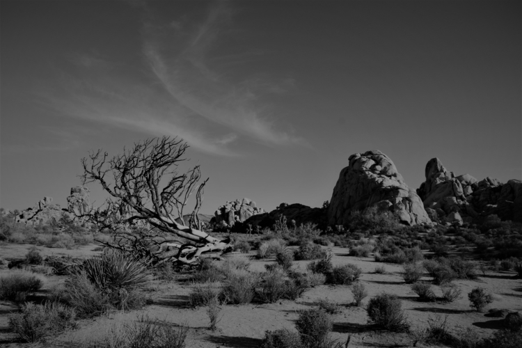Windswept Joshua Tree National  - c0ry | ello
