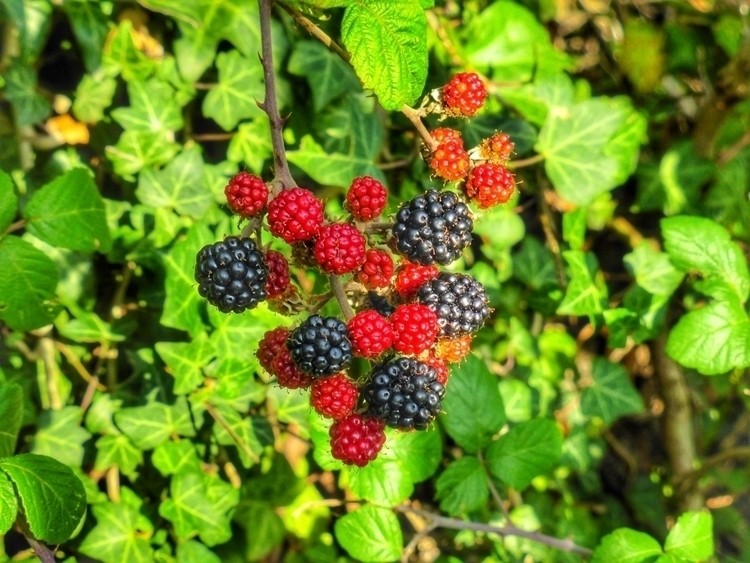 Ripening blackberries (Panasoni - paulbines   ello