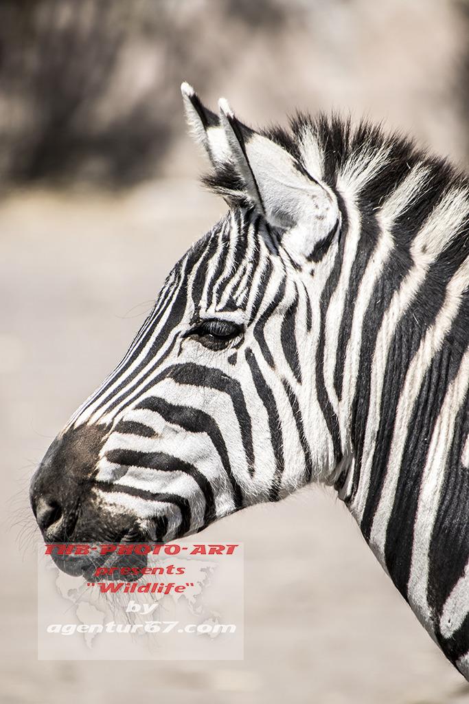 Zebra - zebra cebra - agentur67 - agentur67   ello