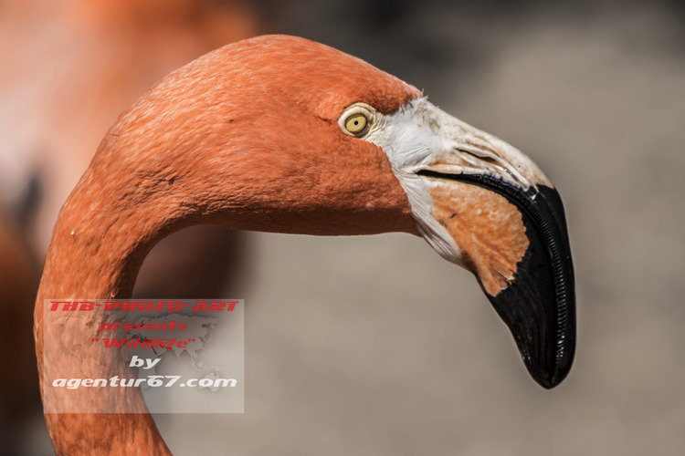 Flamingo / flamingo flamenco - agentur67 - agentur67 | ello