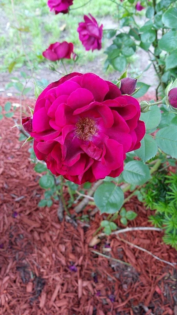 photgraphy, flowers - captain_p_patches | ello
