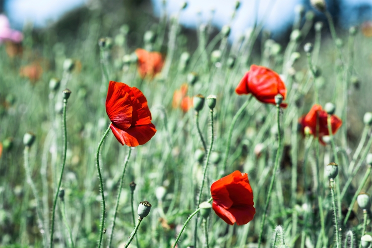 Flower Farms Pescadero, CA - poppyflowers - neonicecream | ello