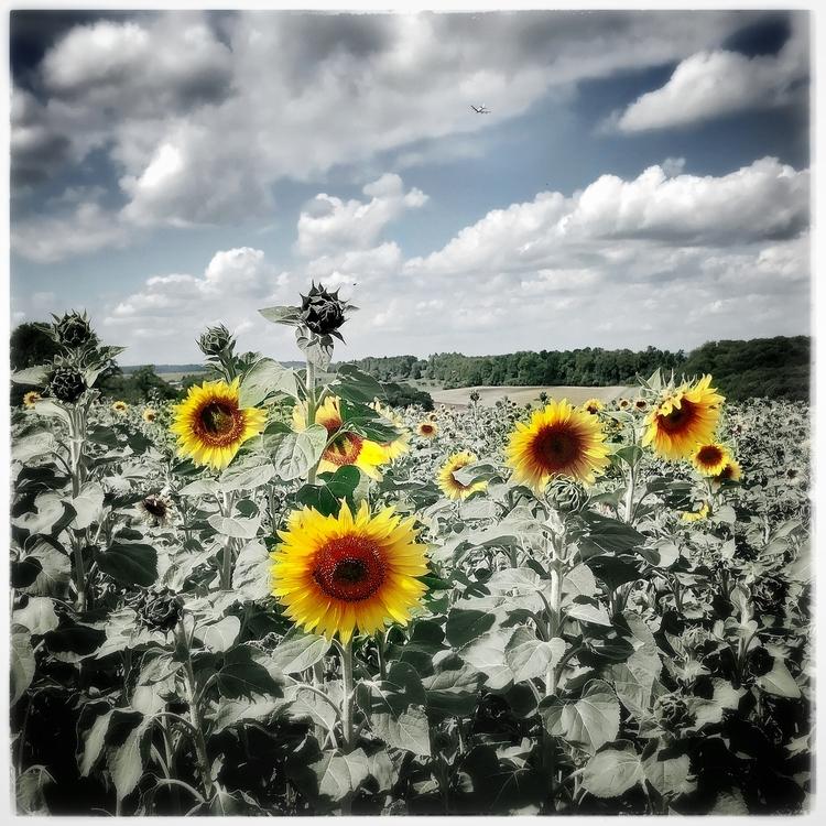 somemoresunflowers, travellingaroundthecountryside - willkreutz | ello
