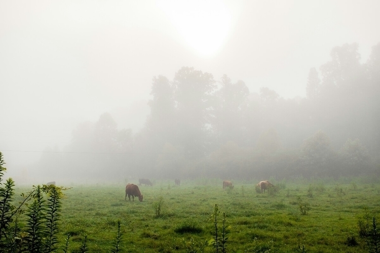 Blue Ridge, GA - fog, cows, blueridge - tomsloan | ello