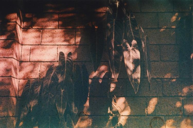 Philodendron Hastatum - photographer - acidecabine | ello
