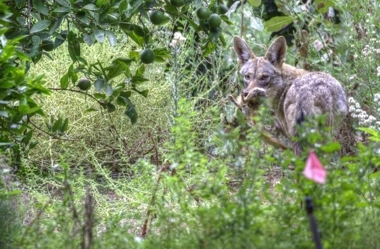 Coyote breakfast Orcutt Ranch,  - ellomaggie | ello