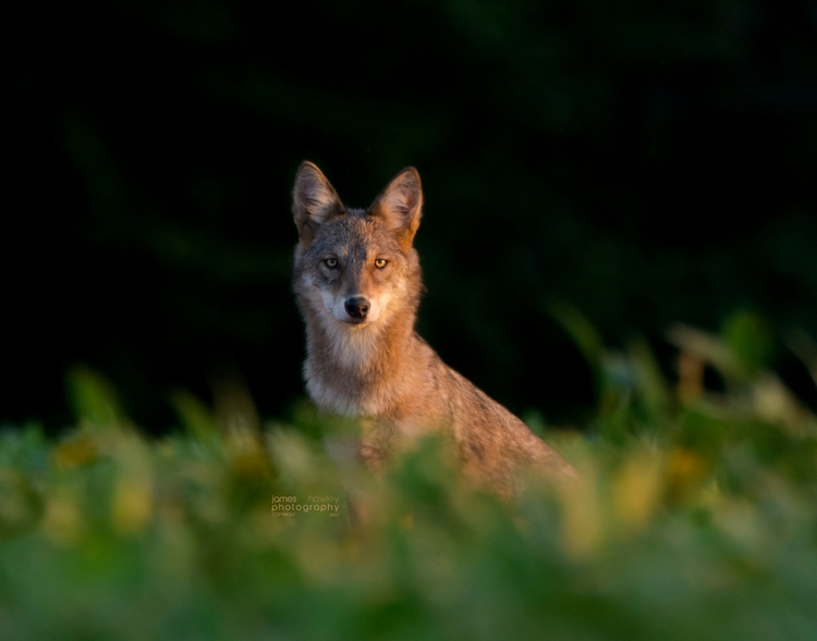 Eastern Coyote - coywolf, coyote - freedomengine | ello
