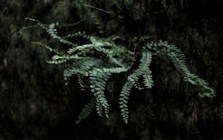 fern, maidenhair, plant, nature - blackwyrt | ello