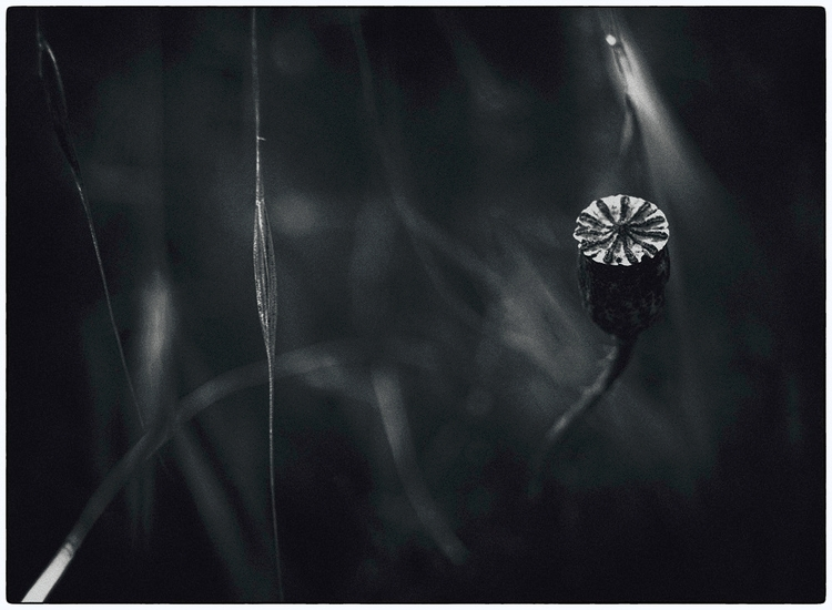 °wild poppy° art white - black, melankomikerin - melankomikerin | ello