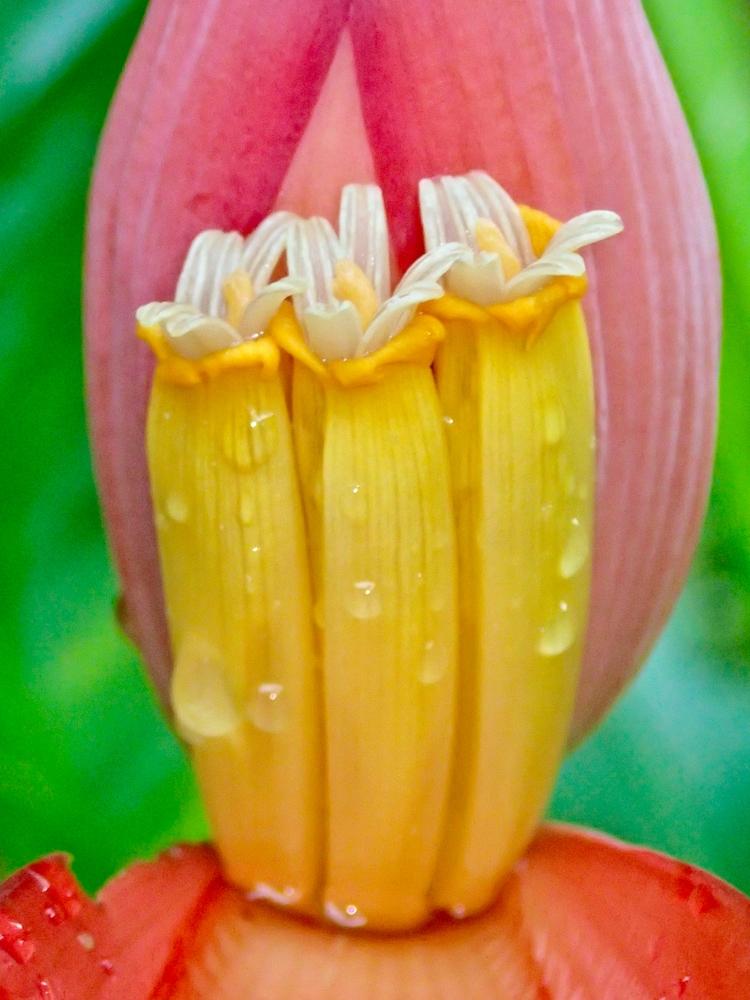 Banana blossom, rain - danileis | ello