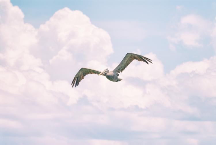 flight pelican, II Maria Island - christofkessemeier | ello